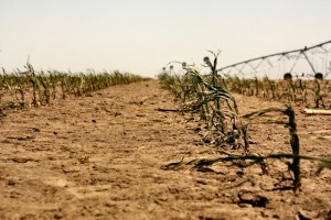Corn in Colby, Kansas withers in the Great Drought of 2012 on May 27. Image credit: Wunderphotographer treeman.