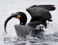 A cormorant surfaces from the water after catching an alewife.