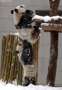 panda_cooperation
