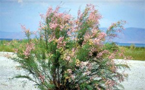 Spring flowers on a salt cedar. Photo courtesy U.S. Army Corps of Engineers.