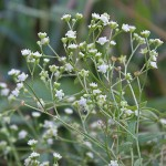 Guayule Flowers